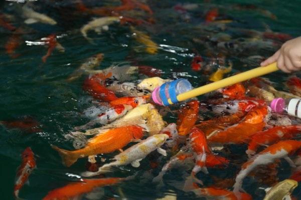 Cho cá ăn đúng cách
