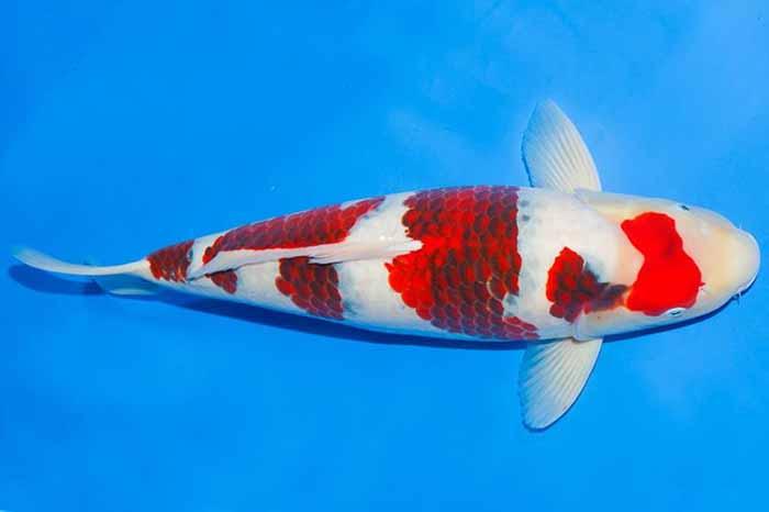 Cá koi Goromo