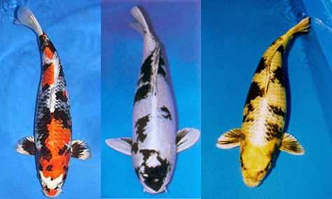 Cá koi Hikariutsuri