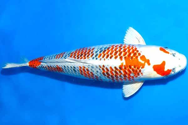Cá koi Kanoko