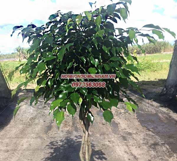 Cây Ficus