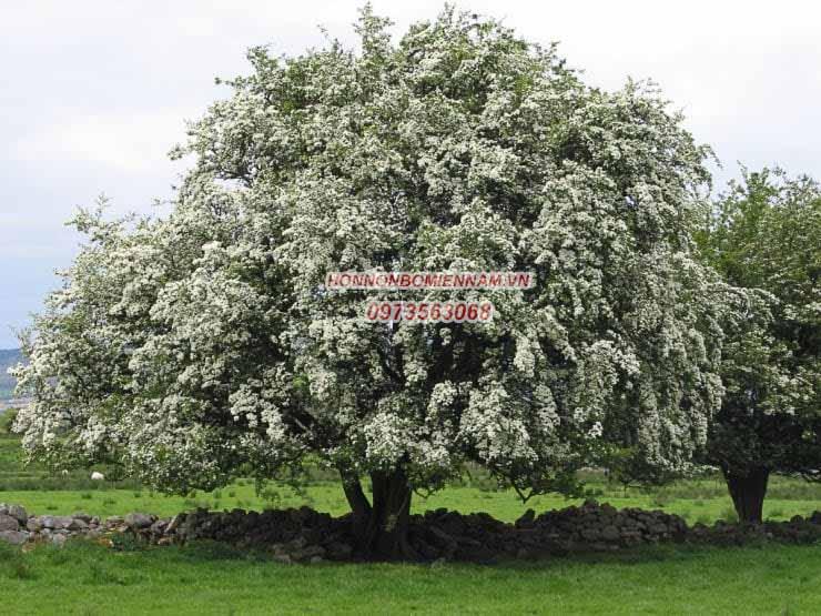 Cây hawthorn