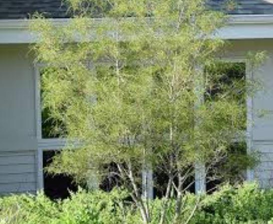 cây hắc dương xỉ